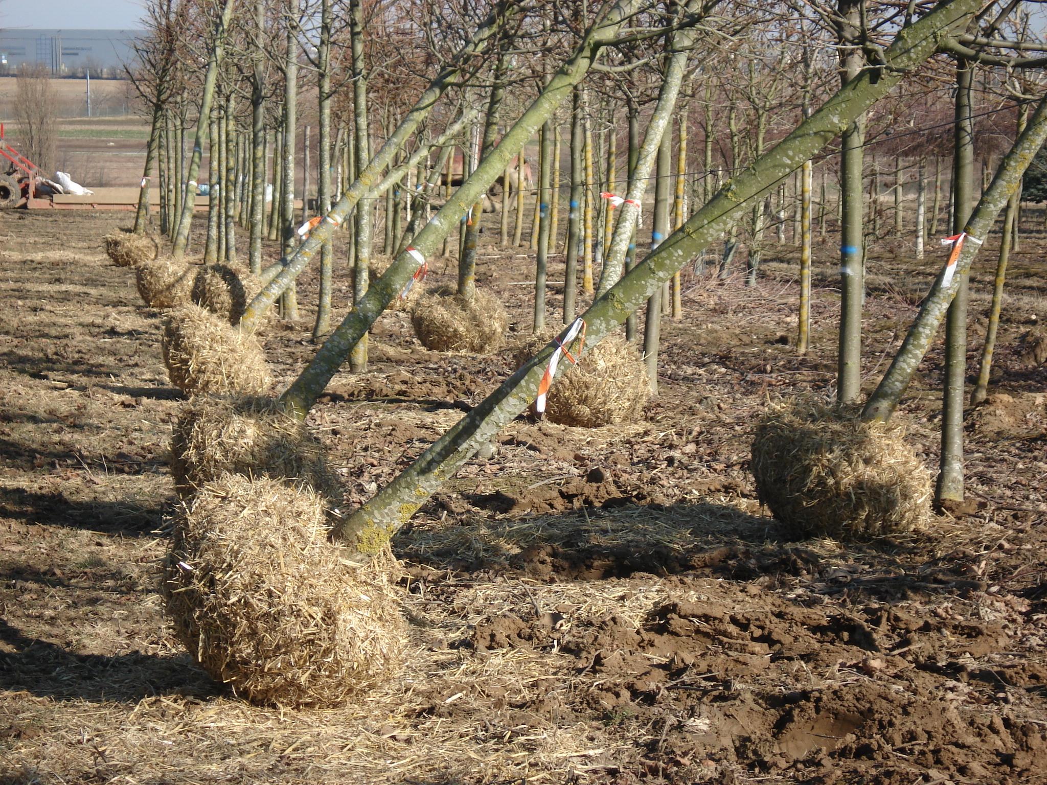 Mottes, racines nues, vous saurez tout !
