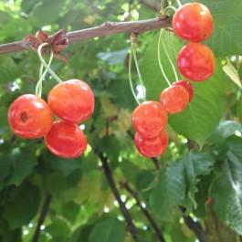 CERISIER - Prunus avium - bigarreau 'Saint fiacre'