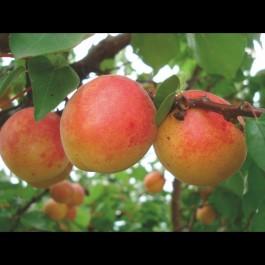 ABRICOTIER - Prunus armeniaca 'Rouge du roussillon'