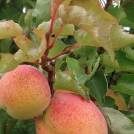 ABRICOTIER - Prunus armeniaca 'Pêche de nancy'