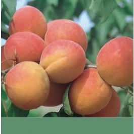 ABRICOTIER - Prunus armeniaca 'Paviot'