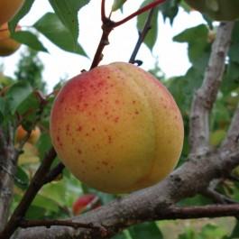 ABRICOTIER - Prunus armeniaca 'Luizet'