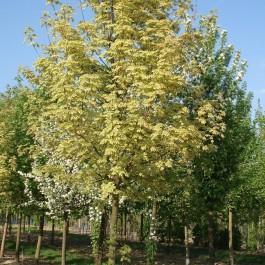 Erable plane à feuilles panachées