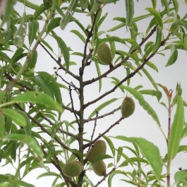 AMANDIER - Prunus amygdalus 'Princess m133'