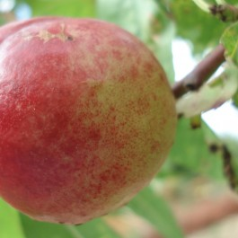 BRUGNON - Prunus persica var.nucipersica 'Silver lode'
