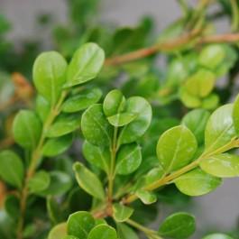 Buis commun à feuilles rondes