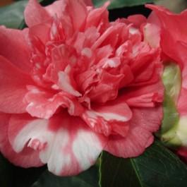 camelia rose vif