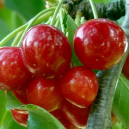 CERISIER - Prunus avium x cerasus - cerise vraie 'Reine hortense'