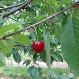 CERISIER - Prunus avium - bigarreau 'Belges'