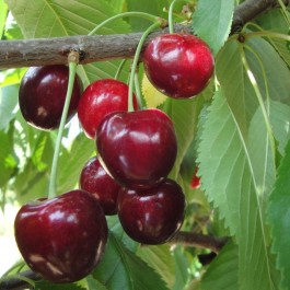CERISIER - Prunus avium - bigarreau 'Géant d'Hedelfingen'