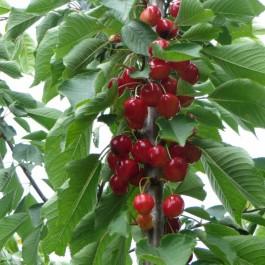 CERISIER - Prunus avium - bigarreau 'Napoléon'