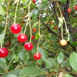 CERISIER - Prunus cerasus - griotte 'Toussaint'