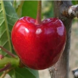 CERISIER - Prunus avium - bigarreau 'Tigre ou marbré'