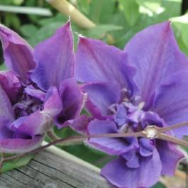 Clematite bleu fleurs doubles