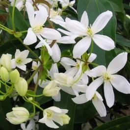 Clématite persistante à fleurs blanches