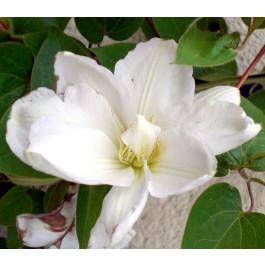 Clématite à fleurs blanches