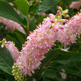 Clethra 'Pink Fire'