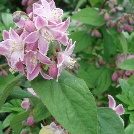 Deutzia 'Perle rose'