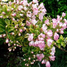 Escalonia 'Apple blossom'