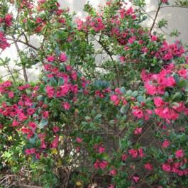 Escalonia à grande fleurs roses
