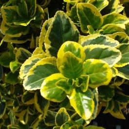 Fusain panaché jaune 'Aureovariegatus'