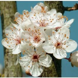 PRUNIER - Prunus domestica 'Parfumée de septembre'