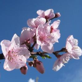 PECHER - Prunus persica 'Michelini'