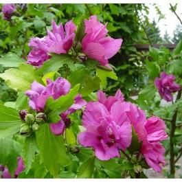 Althea à fleurs doubles rouges