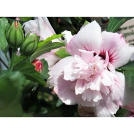Althea à fleur double rose clair et rouge