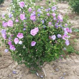 Althea à fleur double mauve