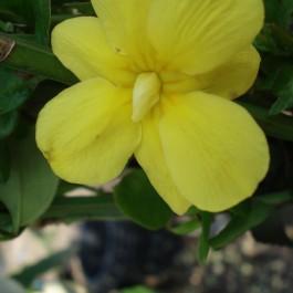 Jasmin d'hiver jaune