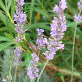 Lavande commune 'Dutch lavender'