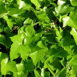 Lierre vert à feuille gauffrée