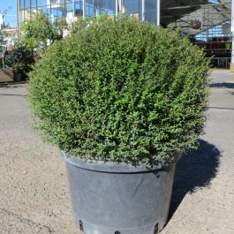 Lonicera nitida Tidy Tips®