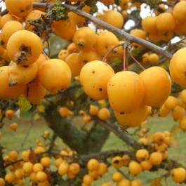 Pommier d'ornement à fruit jaune