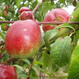 NECTARINE - Prunus persica var.nucipersica 'Nectarose'