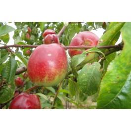 NECTARINE - Prunus persica var. nucipersica 'Nectarose'