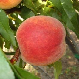 PECHER - Prunus persica 'Suncrest'