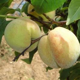 PECHER - Prunus persica 'Tardive du Mont d'or'