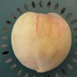 PECHER - Prunus persica 'Teton de venus'