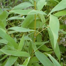 Bambou doré