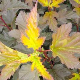 Physocarpus Diable d'or