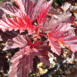 Physocarpus 'Lady in Red'