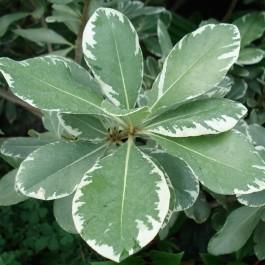 Pittosporum à petites feuilles panaché