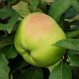 POMMIER - Malus communis 'Calville blanc'