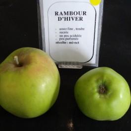 POMMIER - Malus communis 'Rambour d'hiver'