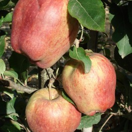 POMMIER - Malus communis 'Starking delicious'