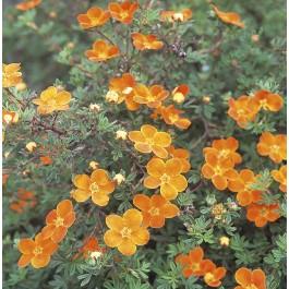 Potentille orange 'Hopley's Orange'