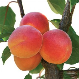 ABRICOTIER - Prunus armeniaca 'Précoce de Montplaisir'