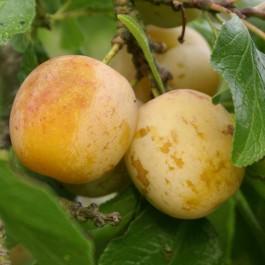 PRUNIER - Prunus domestica 'Reine Claude Diaphane'